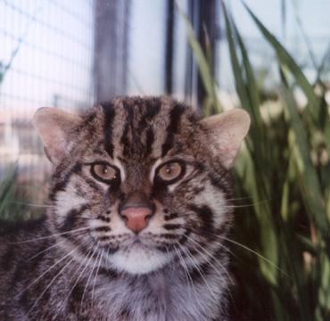 fishing cat subspecies of humans
